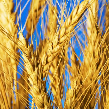 close up view of the golden grain ears Stock Photo - 4020669