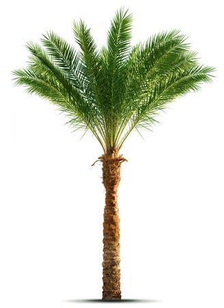 Palm tree isolated on white background photo