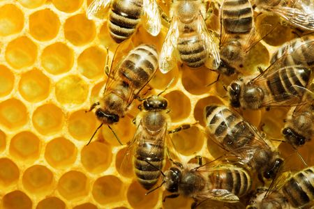 Macro of working bee on honeycells. Stock Photo