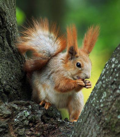 squirrel isolated: Ardilla roja ubicaci�n en el �rbol y comiendo una nuez