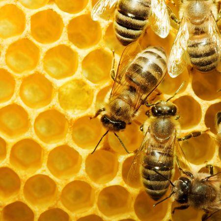 honeyed: Macro of working bee on honeycells. Stock Photo