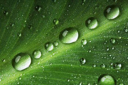 Water drops on fresh green leaf, isolated on white photo