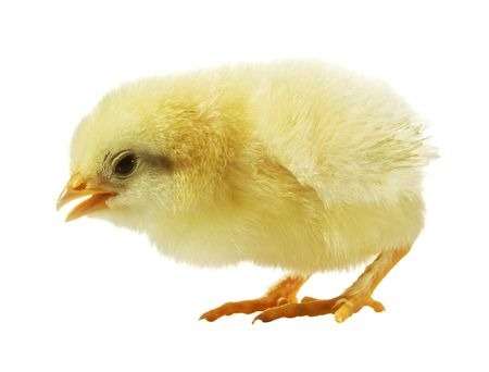 Cute little baby chicken against white background photo