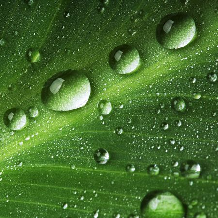 dews: Water drops on fresh green leaf, isolated on white