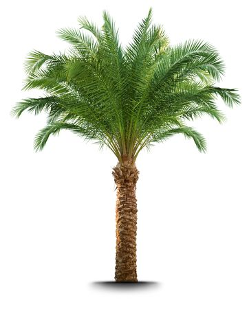 palm tree isolated: Palm tree isolated on white background