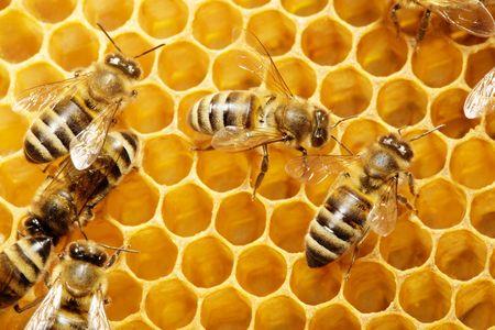 Macro of working bee on honeycells. Stock Photo