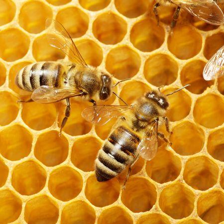 abejas panal: Macro de abeja de trabajo sobre honeycells. Foto de archivo
