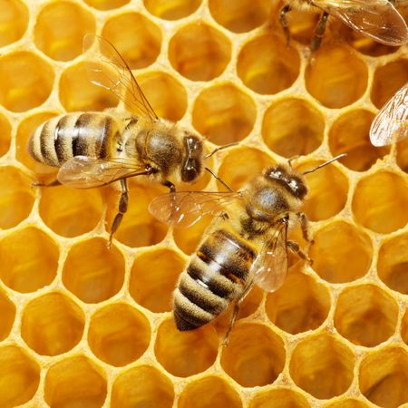 queen bee: Macro de abeja de trabajo sobre honeycells. Foto de archivo