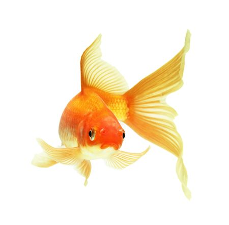 gold fish isolated on white Stock Photo - 5888726