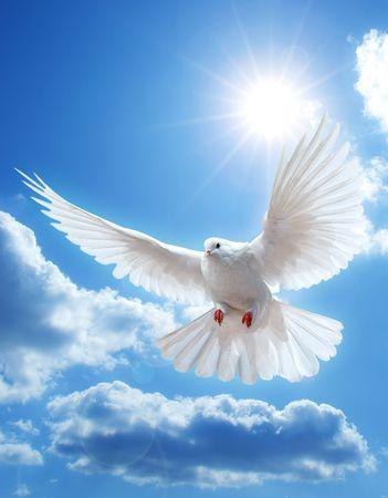 white dove: Paloma en el aire con las alas abiertas de ancho en frente del sol