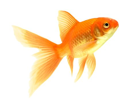 gold fish isolated on white Stock Photo - 5888786