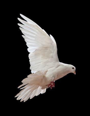 white dove: Una paloma blanca vuelo libre, aislada en un fondo negro