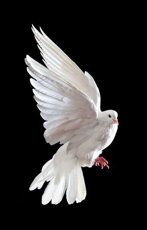 A free flying white dove isolated on a black background Stock Photo - 5888775