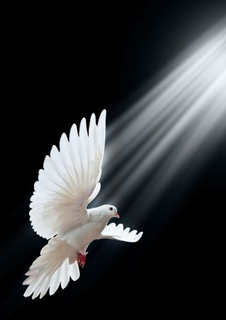 free spirit: A free flying white dove isolated on a black background