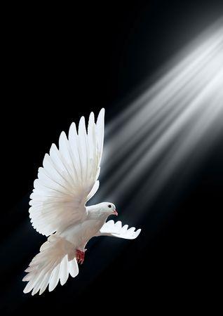 paloma blanca: Una paloma blanca vuelo libre, aislada en un fondo negro