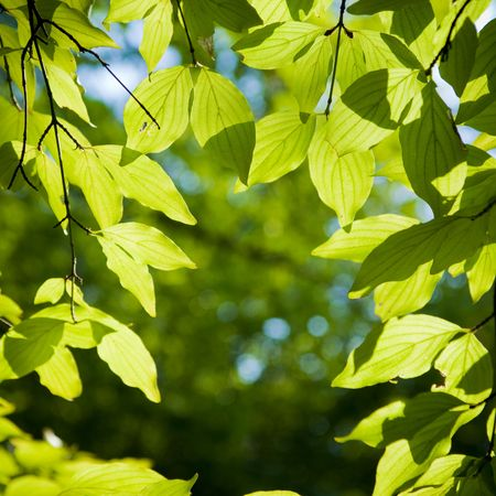 foliage tree:   a beech tree forest during spring Stock Photo