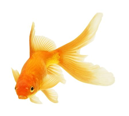 gold fish isolated on white photo