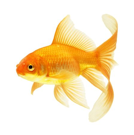 gold fish isolated on white Stock Photo - 5945855