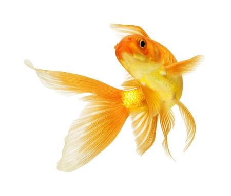 gold fish isolated on white Stock Photo - 5945852