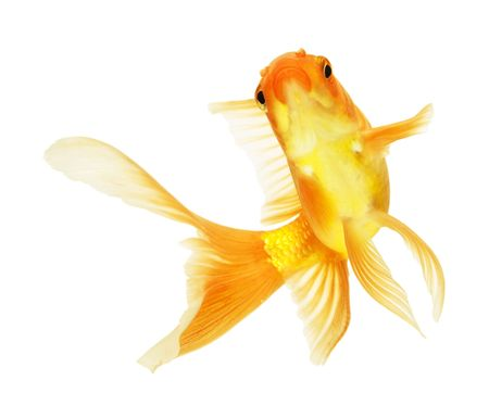 gold fish isolated on white Stock Photo - 5945851