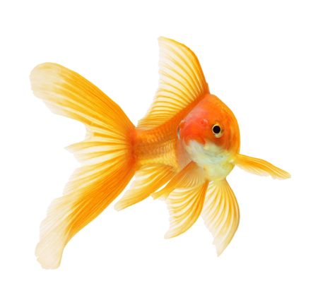 gold fish isolated on white Stock Photo - 6518315
