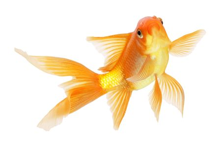 gold fish isolated on white Stock Photo - 6518383