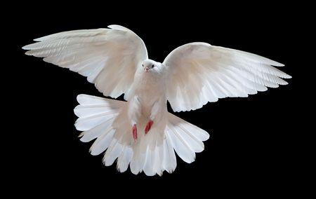 espiritu santo: Una paloma blanca vuelo libre, aislada en un fondo negro