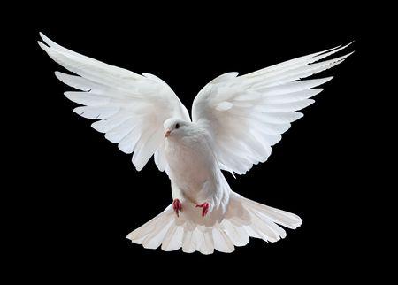 pomba: Uma pomba branca do v�o livre isolada em um fundo preto Banco de Imagens
