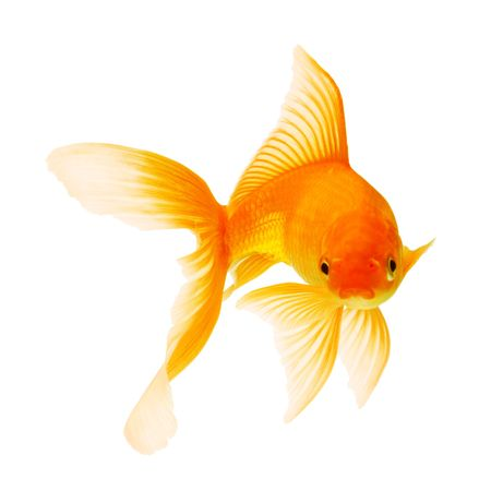gold fish isolated on white Stock Photo - 6518323