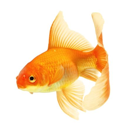 gold fish isolated on white Stock Photo - 6556109