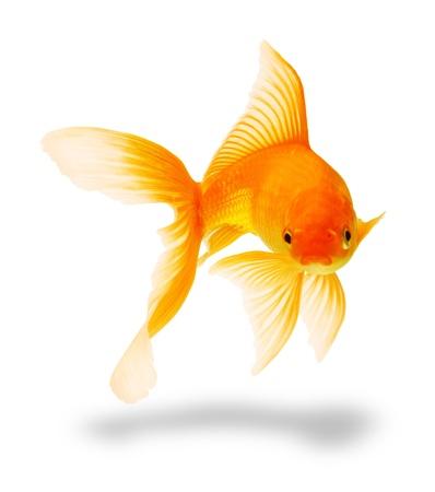 pez pecera: peces de oro aislado en blanco Foto de archivo
