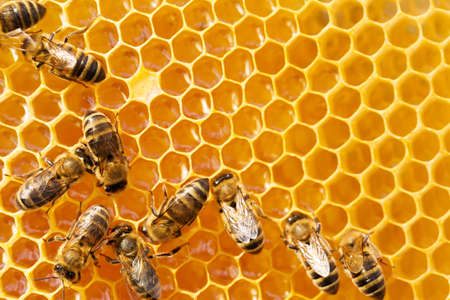 honeyed: Close up view of the working bees on honeycells.
