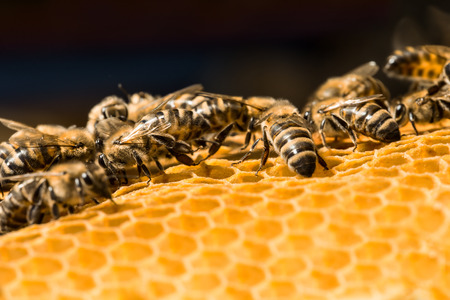 beekeeper: Close up view of the working bees on honeycells