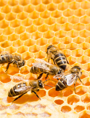 Close up view of the working bees on honeycells  photo