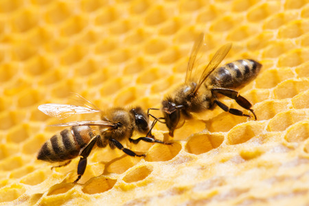 honeyed: Close up view of the working bees on honeycells