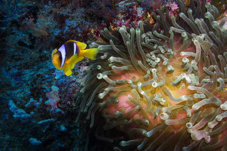 clown fish: Coral and clown fish in the Red Sea Egypt