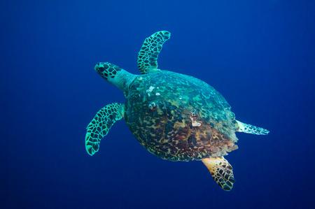 sea turtle: Hawksbill sea turtle  Eretmochelys imbricata  in blue water Stock Photo