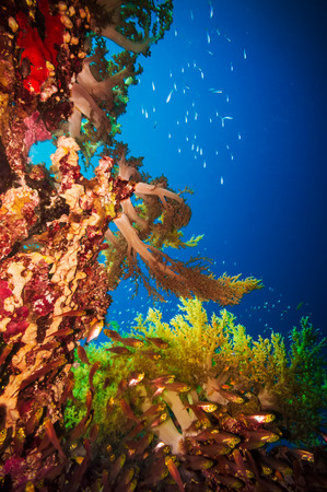 colorful fish: Coral and glass fish in the Red Sea Egypt