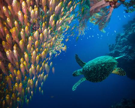 Carey Eretmochelys imbricata mar en agua azul Foto de archivo