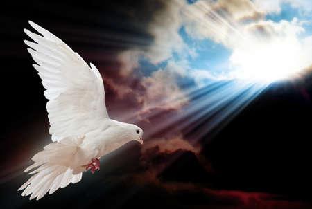 bird peace: Paloma en el aire con las alas abiertas de ancho en frente del sol