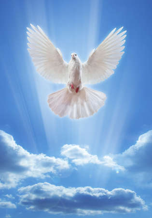 dove bird: Dove in the air with wings wide open in-front of the sun