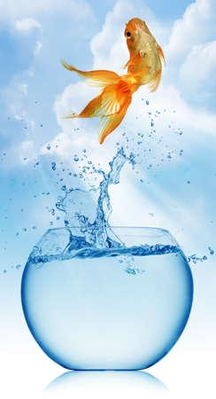 peces de colores: Un pez de colores saltando fuera del agua para escapar a la libertad. Fondo blanco. Foto de archivo