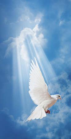 cielos azules: Paloma en el aire con las alas abiertas de ancho en frente del sol