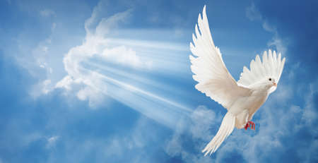 on white: Dove in the air with wings wide open in-front of the sun