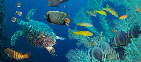 great barrier reef: Hawksbill sea turtle (Eretmochelys imbricata) in blue water Stock Photo