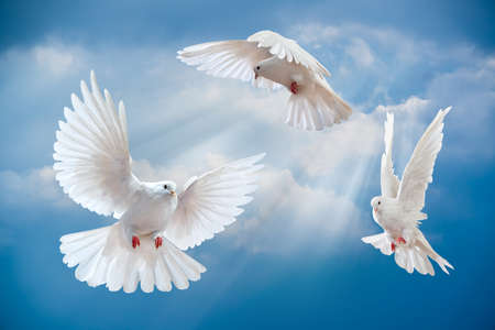 pigeon: Dove in the air with wings wide open in-front of the sun