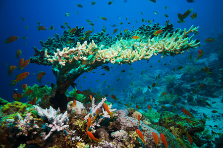 branching coral: Coral reef with branching coral and colorful tropical fish swimming underwater in a natural marine ecosystem attracting eco-tourism and divers Stock Photo