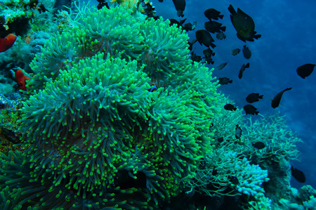 polyps: Clown fish with its young in the anemone site on a tropical coral reef Stock Photo