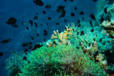 fondali marini: Pesce pagliaccio con la sua giovane nel sito anemone su una barriera corallina tropicale