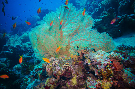 gorgonian: Giant fan (gorgonian) in the currenton Red Sea reef underwater